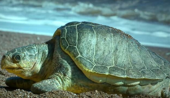 An electric egg-laying robot turtle closer to reality