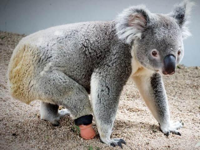 Koala bear happy after getting prosthetic feet