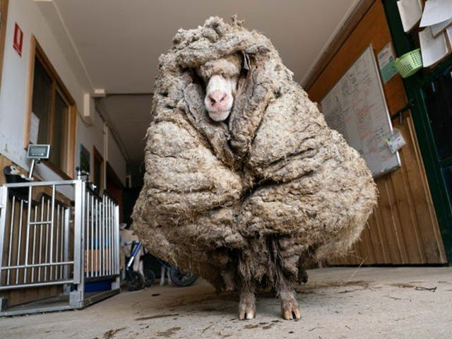 In Australia, sheep were freed from a load of 35 kg