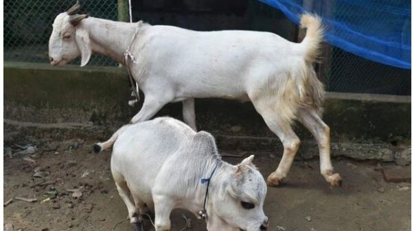 Tanta tied the knot to see the world's largest bony cow in Bangladesh