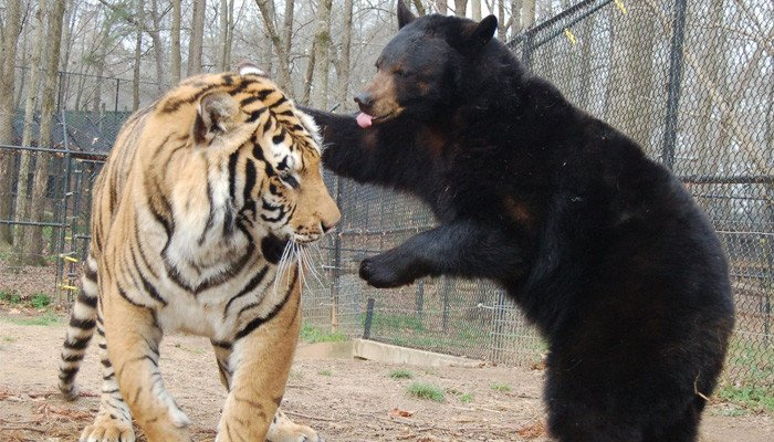 Video: The bear forced the leopard to run away