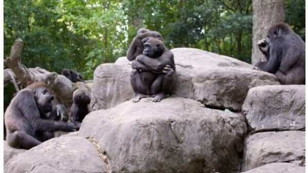 Suffering from Corona guerrillas at the American Zoo, treatment continues