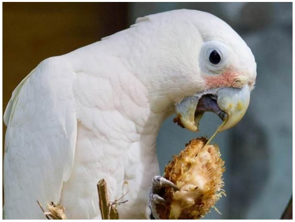 Parrots can make their own knives and forks